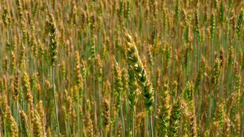 1080p Wind Rustles in Ears of Field of Green and Yellow Unripe Wheat Footage