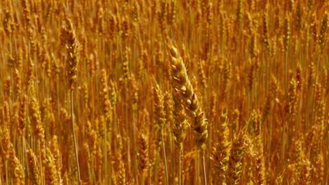 1080p Wind Rustles in Ears of Field of Ripe Golden Wheat Footage