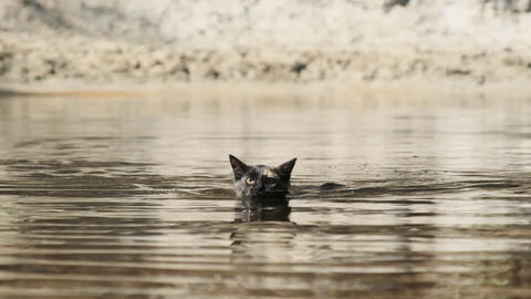 Cat Swimming in Water. Black Kitten Swims in River. Cat's Emotions. Slow motion Live Action