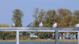 Gulls in the Pfaffenteich in Schwerin Footage
