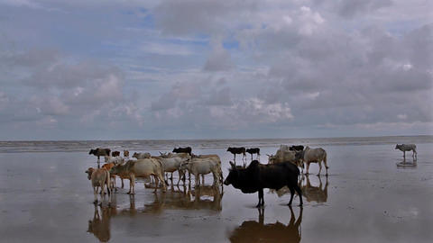 Wide shot of cows at the Indian beach Footage