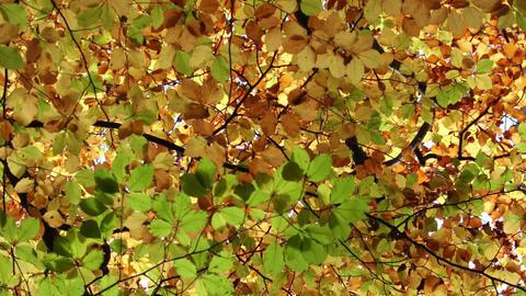 Autumn leaves move on a tree Footage