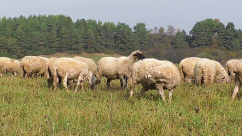 Flock of sheep breeding in the green grass mountain meadow Footage