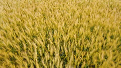 Aerial view of golden wheat field.Aerial video Live Action
