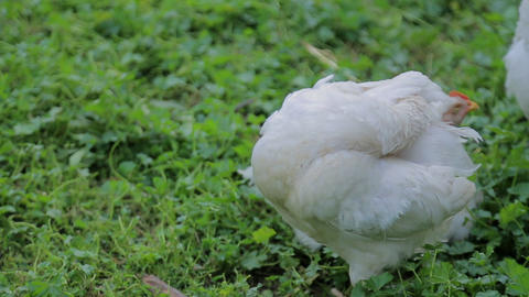 Image shows a white hen searching for food on an open country field Live Action