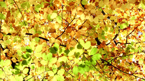Autumn leaves moving on a tree. Autumn background Footage