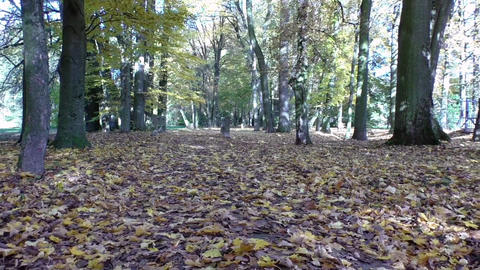 Scenic view of golden leaves on trees in park, autumn scene Footage
