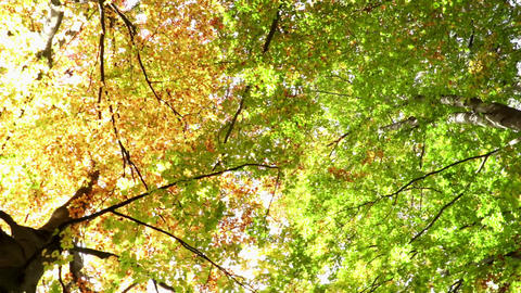 Autumn trees from below. Gradient from green to yellow. Autumn colors gradient Footage