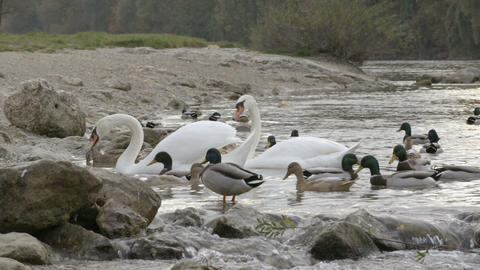 Swans and ducks in the water with stones Footage