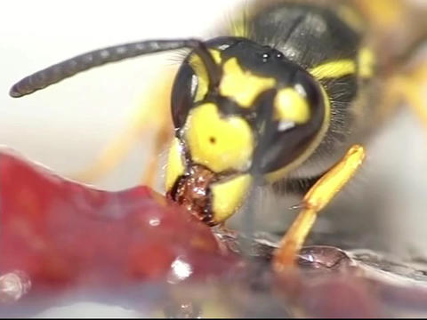 Wasp eating jelly Footage