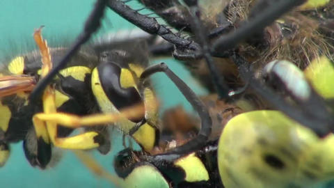 Wasps eating a dragonfly Footage