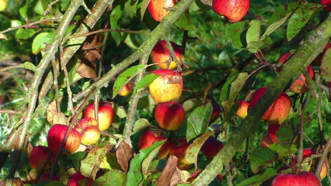 Red apples on apple tree branch Footage
