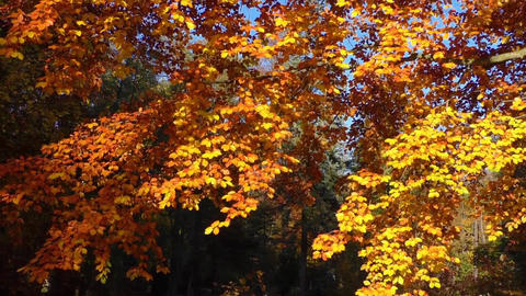 Majestic landscape with autumn leaves in forest Footage