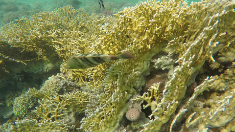 Broomtail Wrasse (Cheilinus lunulatus) in Red Sea Footage