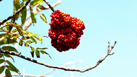 Wild rowan berries on tree in Autumn close up Footage