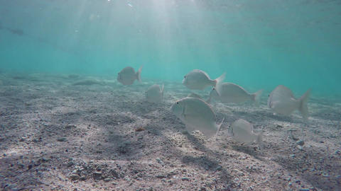 School of Snapper (lethrinidae) in Red Sea, Egypt Footage