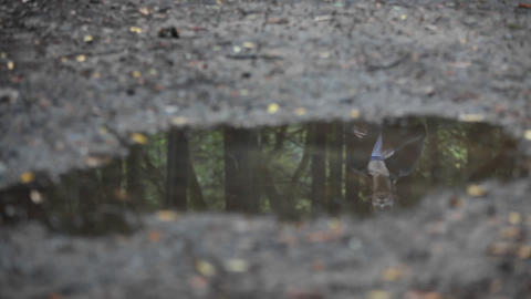 A woman jogs over a puddle reflecting the woods of the area where she is Footage