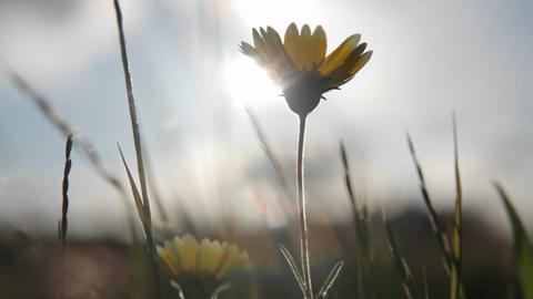 A small wildflower and surrounding grasses are swayed by... Stock Video Footage