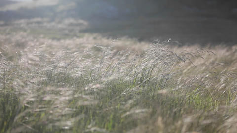 A continuous gust of wind blows across a grassy field Footage