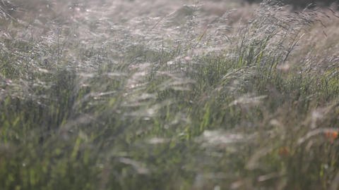 A wind-blown field of weeds gradually comes into focus, then blurs once more Footage