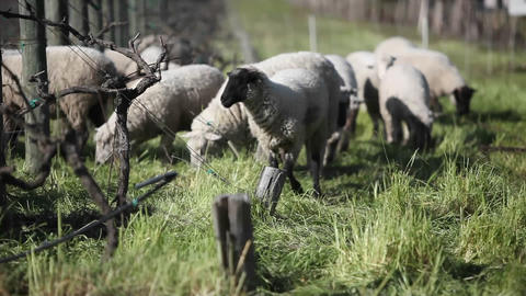 A herd of sheep are grazing Stock Video Footage