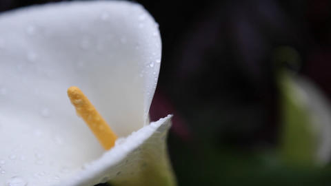 A calla lily is covered with drops of water Footage