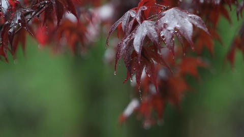 Raindrops fall onto the leaves of a tree Footage
