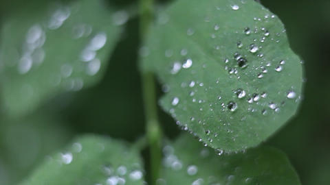 Drops of water are condensed on the leaves of a plant Footage