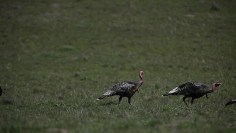 Wild turkeys are walking across a grassy field Stock Video Footage