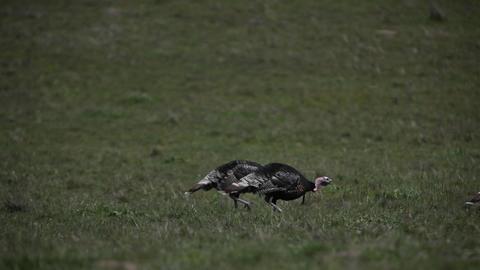Wild turkeys are walking across a grassy field Footage