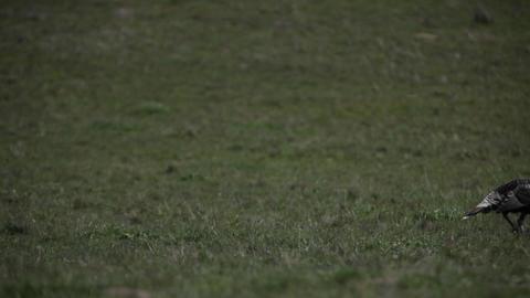 Wild turkeys are walking across a grassy field Stock Video Footage