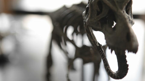 The skeleton of a dinosaur comes into focus Stock Video Footage