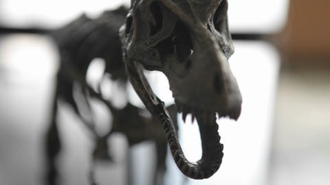The skeleton of a prehistoric animal comes into focus Stock Video Footage