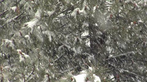 Snow falls amidst pine branches Stock Video Footage