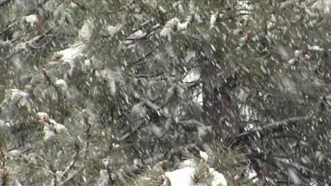 Snow falls amidst pine branches Live Action