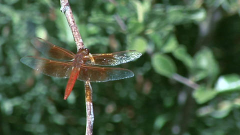 A dragonfly sits on a branch Stock Video Footage