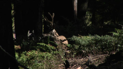 A buck walks in the woods Stock Video Footage