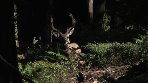 A buck walks in the woods Footage