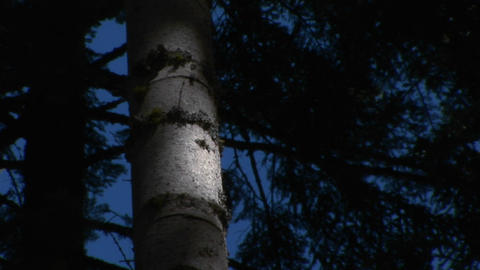 A tree trunk glows in the moonlight Live Action