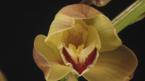 Extended time lapse of a close-up of cymbidium orchid... Stock Video Footage