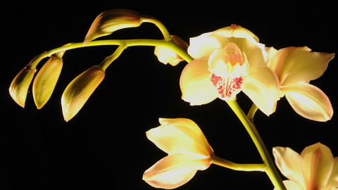 Zoom in extended time lapse of cymbidium orchid flowers blooming in a studio Footage