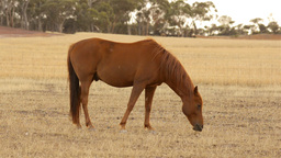 Horse Grazing in a Dry Paddock in the Summer Stock Video Footage