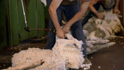 Sheep Shearing 0