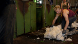 Shearers Shearing Merino Sheep Footage
