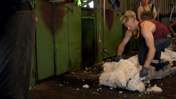 Shearers Shearing Merino Sheep Stock Video Footage