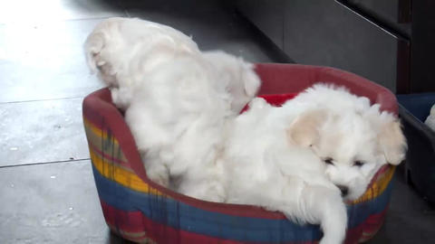 Bichon Frise Puppies A Stock Video Footage