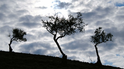 Olives tree on a cloudy day timelapse Footage