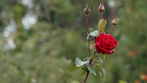 Red Roses Rain 4K Footage