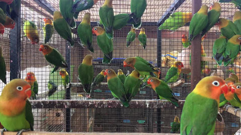 Fisher Parrot Colony - Young Love Birds in a large number Footage