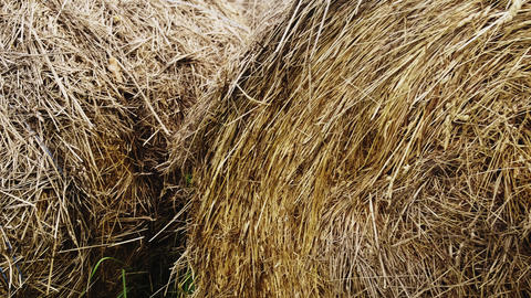 Close-up of yellow straw packed in rolls. Animal food for the winter Live Action